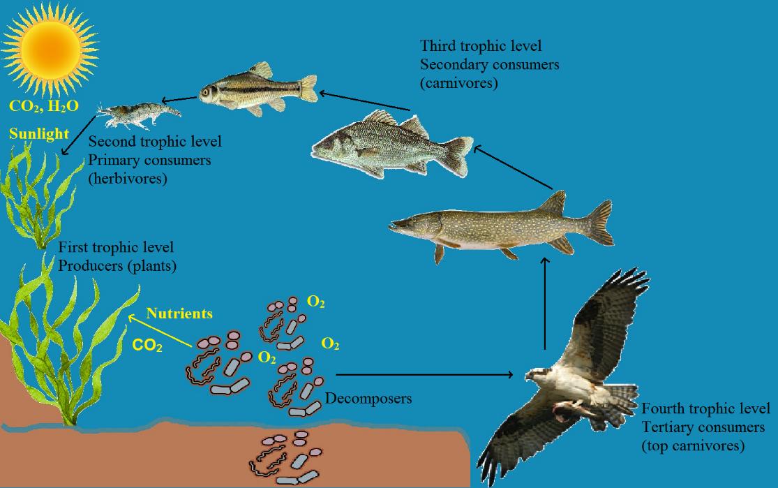 Description: River food chain